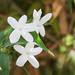 Echter Jasmin (Jasminum officinale f. affine)