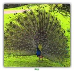 """""""JE SUIS FIER COMME UN COQ !"""" (rgisa) Tags: coq fier proud peacock paon clres parc park seinemaritime"""