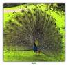 """""""JE SUIS FIER COMME UN COQ !"""" (régisa) Tags: coq fier proud peacock paon clères parc park seinemaritime"""