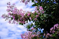 crape myrtle (tez-guitar) Tags: temple summer flower blossoms bloom tree sky kamakura pentax pentaxart macro