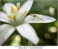 Midge on a Flower, Wauconda, IL (Joshua L Smith) Tags: flower insect iphone6plus iphone6plusmacro iphone iphonemacro macro olloclip olloclipmacro waucondail midge