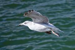 (JOAO DE BARROS) Tags: barros joao seagull fly animal bird