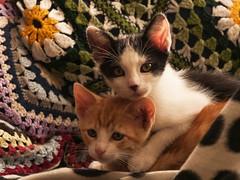 Gatos (Jose Losada Foto) Tags: gatos animales fotografa joselosada nikon nikond90 corua galicia regalo adopcin caa machos juegos xogos