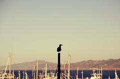 _DSC6541 (adrizufe) Tags: getaria puertogetaria gaviota seagull summer summer16 gipuzkoa basquecountry adrizufe adrianzubia aplusphoto nature nikonstunninggallery ngc nikon d7000