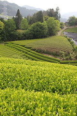 Farming in Monzen, Wazuka (Obubu Tea Farms) Tags: japanesetea japan wazuka kyoto