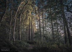 Delamere Forest (Ollie Smith Photography) Tags: delamereforest cheshire forest woods nikon d7200 sigma1750 lightroom september evening landscape autumn trees nature
