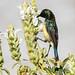 Hummingbird at Korkor Maryam