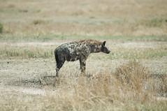 Hyena (jhderojas) Tags: masai mara kenia hyena