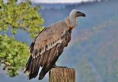Geier (Hugo von Schreck) Tags: geier bird vogel outdoor hugovonschreck germany canoneos5dsr tamron28300mmf3563divcpzda010 fantasticnature