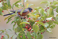 An apple a day, keeps the doctor away (Barb D'Arpino Photography) Tags: autumn ontario canada fall nature outdoors wildlife northamerica americanrobin songbird wasagabeach turdusmigratorius thrushfamily northamericanrobin ornamentalcrabapples naturethroughmyeyescom barbaralynne canon1dx copyrightbarbdarpino barbaralynnedarpino americanrobineatingcrabapples