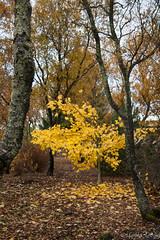 autumn in Selfoss (Fjola Dogg) Tags: autumn fall nature yellow canon iceland islandia haust ísland náttúra 2012 gulur gult 50d canon50d fjoladogg fjóladögg