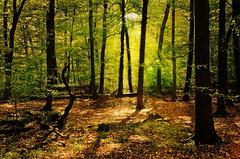 Fall Times (_flowtation) Tags: wood autumn fall leaves forest 35mm leaf woods nikon herbst florian blatt wald blätter nikon35mm leist flowtation d7000 nikond7000 florianleist florianleistphotography florianleistfotografie flowtationde florianleistde