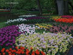Dutch Tulips, Keukenhof Gardens, Holland - 0782 (HereIsTom) Tags: travel flowers flower holland nature netherlands dutch gardens garden spring europe colours tulips sony ngc cybershot olympus tulip bloom keukenhof tulpen tulp webshots e500 f505