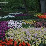 Dutch Tulips, Keukenhof Gardens, Holland - 0782 thumbnail