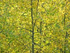 Aspen - DRA (Powskichic of Bend) Tags: autumn light orange color leaves yellow oregon centraloregon river woods october bend scenic trail change aspen pastoral turning cascadelakeshwy createbeauty deschutesrecreationarea powskichicofbend brendareidirwin swcenturydrive
