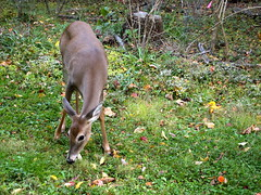 Curious Deer (Raccoon Photo) Tags: park wood autumn playing cute fall nature beautiful smile grass season outside outdoors nose big nice woods pretty changingseason outdoor eating awesome parks reserve peanuts ears deer eat friendly peanut metropark metroparks deereating deerplaying
