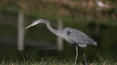 GREAT BLUE HERON at CAESAR CREEK STATE PARK, HARVEYSBURG OHIO, OCTOBER 12, 2012 (nsxbirder) Tags: ohio video greatblueheron ardeaherodias caesarcreekstatepark harveysburg