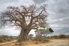 Entrance to Tarangere National Park. (shashin62) Tags: africa tree tanzania baobab tarangere baobabtree thechallengefactory tarangerenationalpark