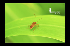 Brown stink bug (Ringgo Gomez) Tags: 1001nights macroextreme macrolicious topseven tamronsp90macro nikond90 flickraward malaysianphotographers elitephotography macromarvels macrolife batterthangood sarawakborneo nikond90club 1001nightsmagiccity flickraward5 mygearandme