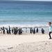 """Jack & Gentoo Penguins • <a style=""""font-size:0.8em;"""" href=""""http://www.flickr.com/photos/88714479@N07/8093291367/"""" target=""""_blank"""">View on Flickr</a>"""