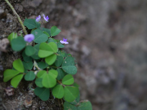 Three-flower Beggarweed