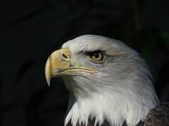 IMG_1205a (Naturecamhd) Tags: nyc newyorkcity travel vacation newyork bird nature animals canon zoo eagle bronx wildlife baldeagle beak feathers conservation powershot raptor bronxzoo destination