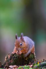 IMG_8521 (Bucks nature tog) Tags: autumn red island squirrel squirrels feeding harbour eating wildlife nuts national dorset trust autumnal poole hazelnut vulgaris hazelnuts brownsea sciurus nbw