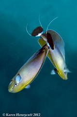 Naso vlamingii (Bignose Unicornfish) - Maldives (Karen Honeycutt) Tags: scubadiving maldives underwaterphotography bignoseunicornfish karenhoneycutt nasovlamingii