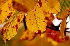.. ..  (Fatin Al Tamimi) Tags: park autumn nature leaves yellow leaf seasons phoenixpark beautyinnature