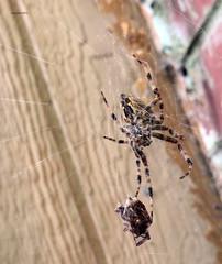 (arlspider) Tags: spider spiderweb araneusdiadematus spidersilk araneidae femalespider malespider