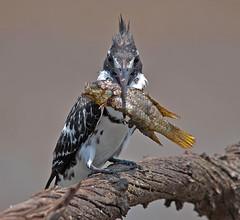 Mine! (cybeR@NGER) Tags: pie southafrica kingfisher pied birdwatching birdwatcher pilansberg ceryle rudis southafricanwildlife martinpêcheur bonteijsvogel bontvisvanger graufischer picapeixemalhado mankwedam