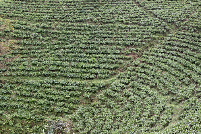 Tea plantations outside Solo, Central Java, Indonesia