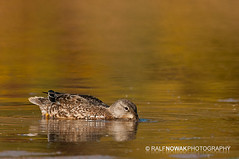 Blue-winged Teal (Ralf Nowak) Tags: thewonderfulworldofbirds
