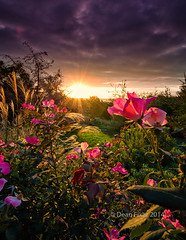 My Backyard at Daybreak (dfikar) Tags: pink flowers roses texas unitedstates objects sunburst rays backlit fortworth backlighting benbrook