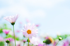 Cosmos (goe2003jp) Tags: autumn white flower fall japan bright bokeh cosmos tamronspaf90mmf28di goe2003jp pentaxk7 都市農業センター persephonesgarden