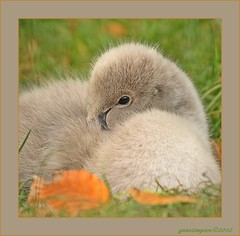 26okt12: prettig weekend ! (guus timpers) Tags: herfst slapen zwarte jonge zwaan almelo dutje knipoog gravenallee rogmanspark dutten herfstsfeer