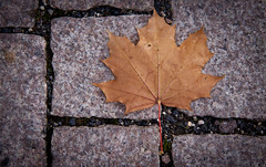 Autumn Maple Leaf on the Cobblestones - Idstein, Germany (ChrisGoldNY) Tags: travel autumn brown fall nature leaves germany deutschland grey leaf europa europe european forsale stones eu viajes german posters albumcover alemania bookcover closeups vacations bookcovers albumcovers deutsche gridskipper idstein deutscheland jaunted cobbestones chrisgoldny chrisgoldberg chrisgoldphoto