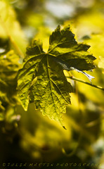 'Last of the Summer Vine' (Photography by Julia Martin) Tags: green leaf bright wine vine backlit grapevine contrajour juliamartinphotography