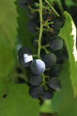 IMG_0166 (Etching Stone) Tags: feast pattern wasp cluster vine grapes bubble raisin grapevine swarm trauben birdpoop     rozijnen  nho tri grappoli hrozny   viinirypleet