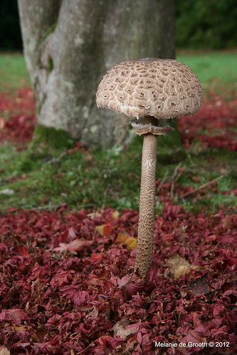 Toadstool in the Autumn Leaves