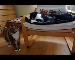 Uh oh, am I in trouble? (hehaden) Tags: blackandwhite white black cat oak chair floor kitty tortoiseshell cupboard shorthaired semilonghair