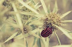 Red Shield Bug (Camino de Santiago #11) (L.Steinmetz) Tags: autumn santiago summer travelling nature saint st canon way de landscape eos james spain europa europe camino d herbst september compostela dslr 50 pilger pilgrimage jakobsweg spanien pilgrim epsana spiegelreflexkamera 50d