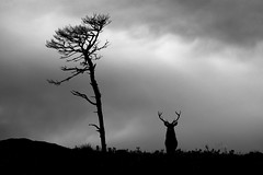 It's a long winter (Gavin Macrae) Tags: winter blackandwhite silhouette scotland nikon stag wildlife deer reddeer 2012 scotspine cervuselaphus scottishlandscape scottishwildlife highlandsofscotland strathglass