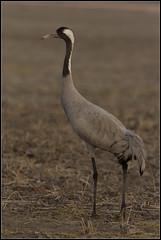 Common Crane (sumeet.moghe) Tags: india birds crane wildlife gujarat kutch littlerannofkutch