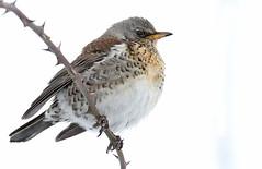 Fieldfare (Explored) (Roger H3) Tags: bird chat thrush