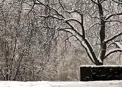 Winter - 382/731 (Vlachbild) Tags: winter snow tree oneaday germany blackwhite europe daily photoaday environment trier pictureaday pfalzel rhinelandpalatinate wallmauer project731 2013inphotos project731382 projet73116january2012
