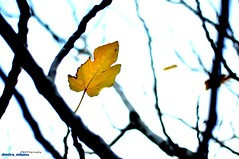 staying close (dimitra_milaiou) Tags: leave leaf yellow love lonely nature winter poetry blue colours life live alive together branches tree planet earth europe greece greek island hellas andros nikon d90 d 90 50mm f18 milaiou dimitra day dream dreaming stay close leaves bokeh        cyclades
