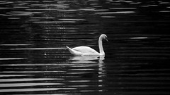 Traben-Trarbach, Germany (Mairead D) Tags: travel summer blackandwhite bird river germany deutschland photography swan europe european german allemagne deutsch mosel allemand birdlife moseltal trabentrarbach mosellevalley
