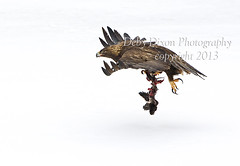Golden flight (Deby Dixon) Tags: winter tourism nature photography nationalpark travels wildlife flight yellowstonenationalpark yellowstone prey wyoming goldeneagle goldeneye debydixonphotography