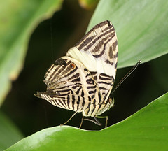 Colobura dirce - Dirce Beauty - Mosaic - Zebra Mosaic (Roger Wasley) Tags: mosaic mosaicbutterfly coloburadirce zebramosaic dircebeauty dircebeautybutterfly zebramosaicbutterfly